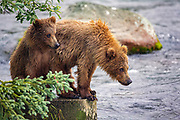 Alaskan Brown bear cubs watch their mother as she fishes at Brooks Falls in Katmai National Park, Alaska.