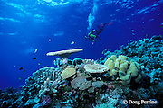 scuba diver swims over coral garden, Flinders Reef, Coral Sea, Queensland, Australia ( Western Pacific Ocean ) MR 205
