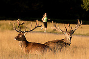 UNITED KINGDOM, London: 04 August 2015 Fallow deer take a rest in the early morning sun as a jogger takes a run through Richmond Park this morning. Rick Findler / Story Picture Agency