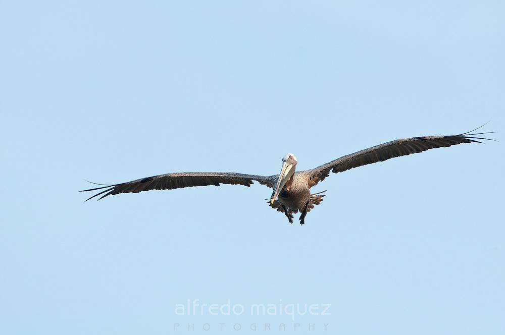 Brown Pelican (Pelecanus occidentalis carolinensis) flying over in Pacheca island. Las Perlas Archipelago, Panama Province, Panama, Central America.