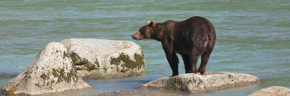 A sow grizzly stands on a rock in the Chilkat River near Haines, Alaska