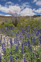 Big Bend Bluebonnet (Lupinus havardii) at Big Bend Bend Ranch State Park, Texas