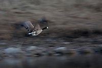 A Canada Goose prepares to land in the small pond at Carburn Park shortly after sunset...©2009, Sean Phillips.http://www.Sean-Phillips.com