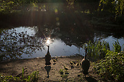 As the number of new Coronavirus cases in the UK climbs to 201,101, with UK deaths now standing at 30,076 - the highest recorded in Europe, <br /> while maintaining a safer social distance during the continuing Covid lockdown, the young goslings recently hatched by resident geese lead their gaggle into the pond in Ruskin Park, a public green space in south London, on 6th May 2020, in south London, England.