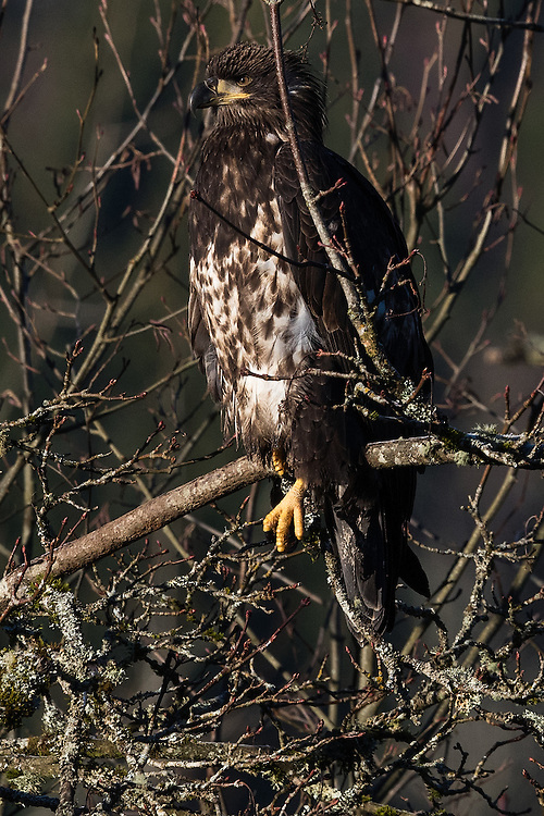 Wintering juvenile bald eagle on the Nooksack River, Deming, Washington. The eagle's markings suggest that it is three years old.