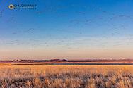 Snow geese spring migration at Freezeout Lake WMA near Fairfield, Montana, USA