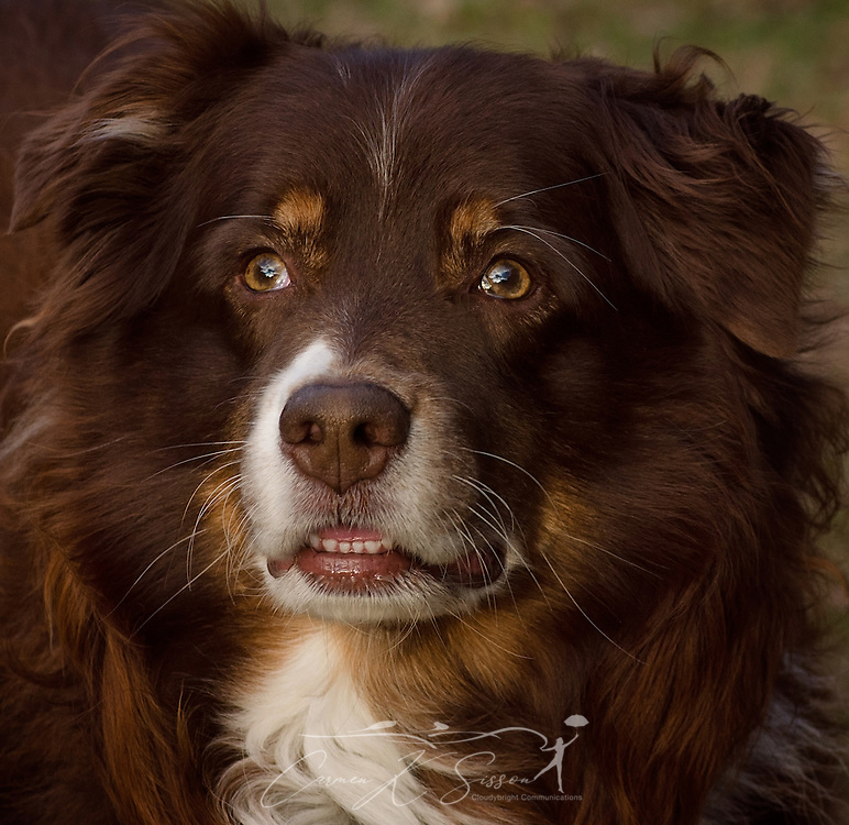 Cowboy, an eight-year-old Australian Shepherd, is pictured outside, Feb. 15, 2017. (Photo by Carmen K. Sisson/Cloudybright)