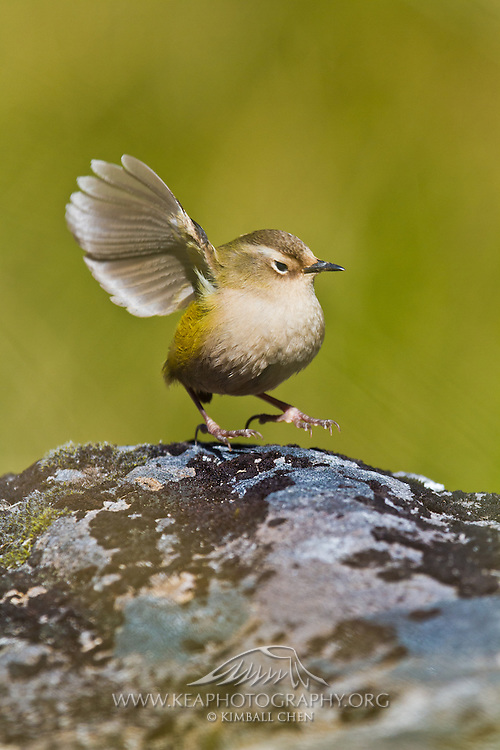 """What's that?  Speak up please!  I'm the New Zealand Rock Wren, one of New Zealand's tiniest birds which means my ears are tiny!""  This vulnerable species is not much bigger than a ping-pong ball, and New Zealand's only true alpine bird!"