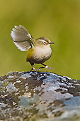 New Zealand Rock Wren