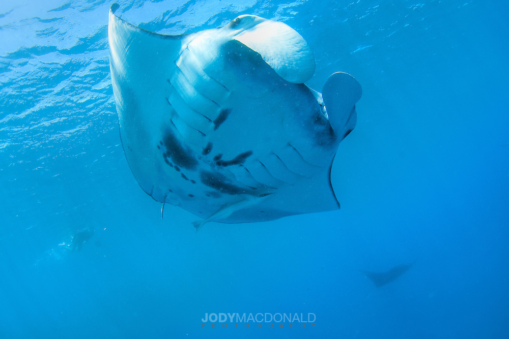 Manta Ray swims overhead in Pohnpei, Micronesia