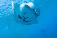 Manta Ray swims overhead in Pohnpei, Micronesia