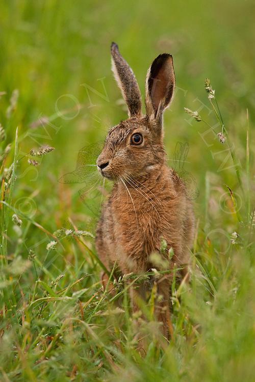 European Hare (Lepus europaeus) adult on grassy track, Norfolk, UK..