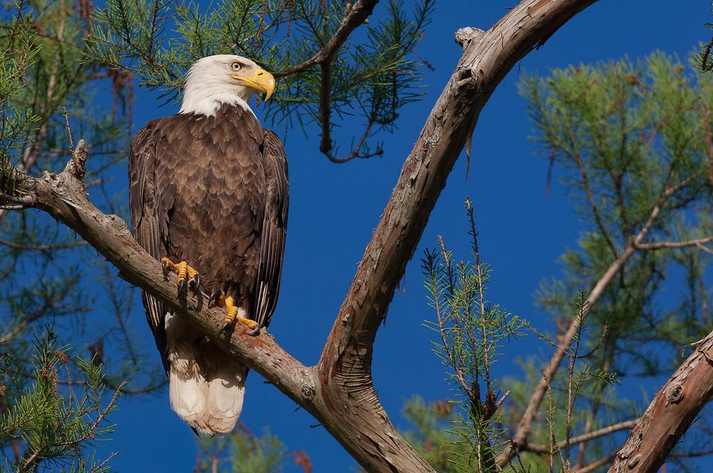 Bald Eagle in Cypress - Atchafalaya Basin