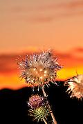 Dry New Mexico Thistles, Cirsium neomexicanum, are highlighted by the sunset along Redington Road, Redington Pass, Santa Catalina Mountains, Sonoran Desert, Tucson, Arizona, USA.