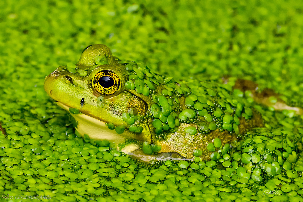 An American Bullfrog (Rana catesbeiana) waits motionless in a small pond completely covered in Duckweed (Lemnaceae) in hopes of catching a small fly (Drosophilidae) walking along the edge of its mouth.  <br /> <br /> The bullfrog is native to eastern North America with a natural range from the Atlantic Coast to as far west as Oklahoma and Kansas.  However, it has been introduced elsewhere where it is considered an invasive species, including Arizona, Utah, Colorado, Nebraska, Nevada, California, Oregon, Washington, Hawaii, Mexico, Canada, Cuba, Jamaica, Italy, Netherlands, France, Argentina, Brazil, Uruguay, Venezuela, Colombia, China, South Korea and Japan.  In some areas, the bullfrog is used as a food source.  <br /> <br /> Bullfrogs are voracious, ambush predators that eat any small animal they can stuff down their throats. Bullfrog stomachs have been found to contain rodents, reptiles, amphibians, crayfish, birds, bats, fish, tadpoles, snails and their usual food &ndash; insects.  Bullfrogs are able to jump a distance 10x their body length.  The female lays up to 20,000 eggs at a time that form a thin, floating sheet which may cover an area of 0.5 -1 m2 (5.4 - 10.8 sq ft). The embryos hatch in 3 - 5 days. Time to metamorphize into an adult frog ranges from a few months in the southern part of their range to 3 years in the north where the colder water slows development.  Maximum lifespan in the wild is 8 - 10 years, but one bullfrog lived for almost 16 years in captivity.<br /> <br /> Duckweed (Lemnoideae) are small flowering aquatic plants which float on or just beneath the surface of still or slow-moving bodies of fresh water. These plants lack obvious stems or leaves, and depending on the species, each plant may have no root or one or more simple rootlets.  Reproduction is mostly by asexual budding, however, occasionally three tiny flowers are produced for sexual reproduction.  The flower of the duckweed measures a mere 0.3 mm (1/100th of an inch) long.<br /> <br /> The fly escaped unharmed.