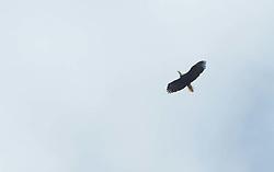 Bald Eagle (Haliaeetus leucocephalus) Flying, San Juan Islands, Washington, US