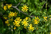 Jaffa groundsel or Buck's horn groundsel (Senecio glaucus syn Senecio joppensis) is an annual member of the Asteraceae and species of the genus Senecio that grows in the desert. Photographed in Israel in January