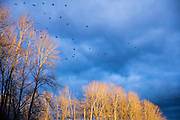 Dozens of American crows (Corvus brachyrhynchos) take off from bare winter trees as the sun sets in Bothell, Washington.