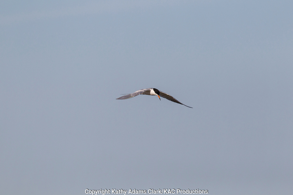 common tern, Sterna hirundo, adult in spring plumage, flying, Galveston Bay, Texas.