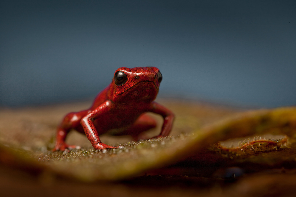 Andean poison dart frog, Ranitomeya opisthomelas, on a leaf in the Choco rainforests of Colombia