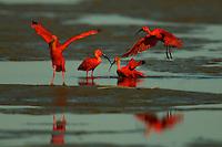 Scarlet Ibises (Eudocimus ruber) preening in the mudflats of Orinoco River Delta, Venezuela.