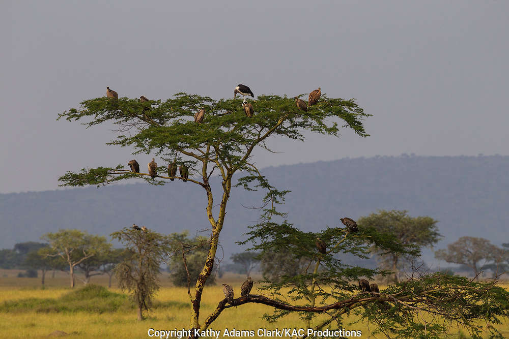 Ruppell's griffon vulture, Gyps rueppellii, group roosting in a tree, Serengeti, Tanzania, Africa.