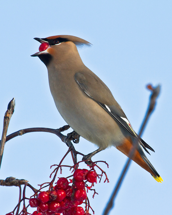 Alaska.  A single adult Bohemian Waxwing (Bombycilla garrulus) feeding on bright red mountain ash berries (Sorbus sp.) in Anchorage in February.  The waxwing has just pulled a berry from the cluster below and is in the process of swallowing it.  Waxwings congregate in large flocks during the winter and forage widely looking for trees and shrubs with berries or fruit.