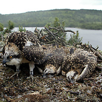 The three five week old Osprey Chicks at Loch of the Lowes being ringed today by wildlife artist and Osprey monitor for some 20 years Keith Brockie.<br />