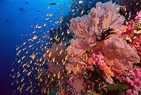 Anthiases swimming over a reef  covered in sea fans and soft corals. Primarily Lyretail Anthias (Pseudanthias squamipinnis)   .Vatu-i-Ra, Fiji