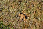 Mule deer (Odocoileus hemionus)buck in velvet during summer