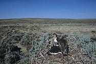 Ferruginous hawk nestlings on nest constructed in big sagebrush (Artemesia tridentata) in Wyoming big sagebrush steppe habitat,  © 1990 David A. Ponton