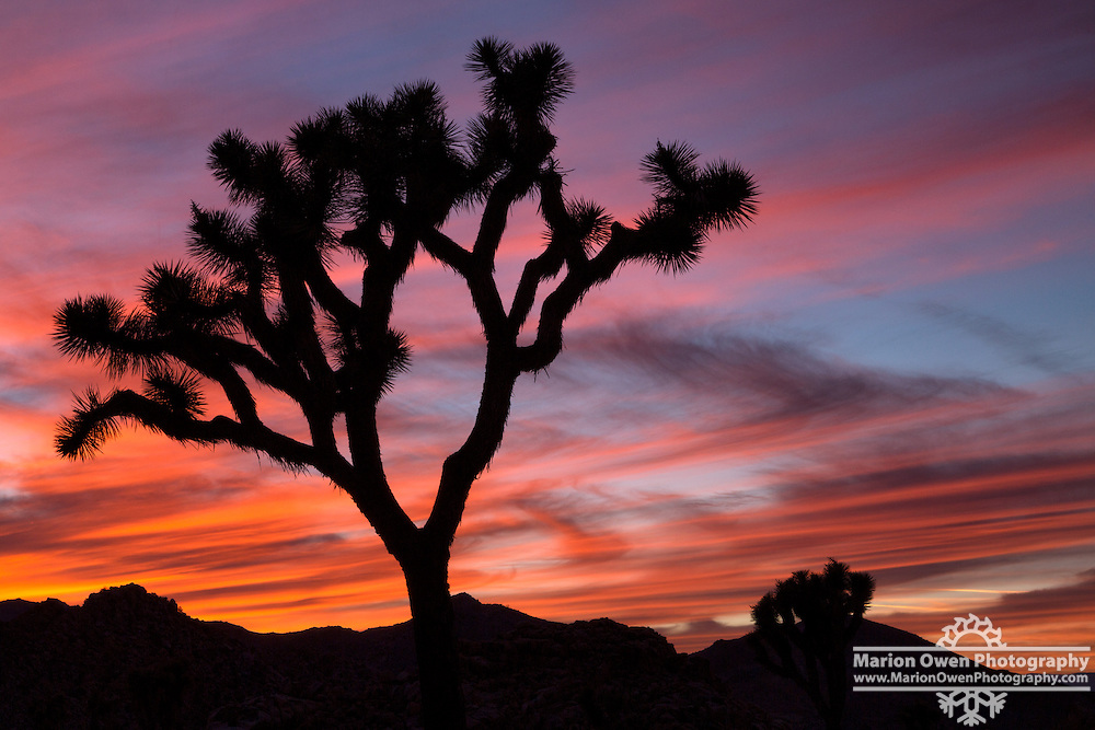 Joshua Tree sillouette at sunset