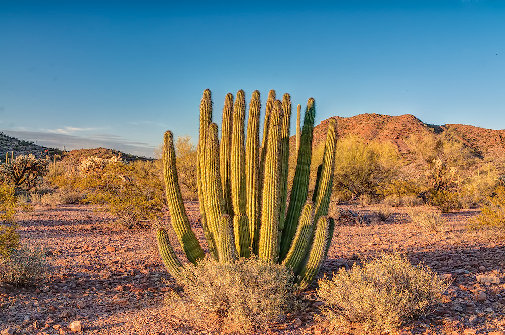 The organ pipe cactus is found throughout much of Mexico and only found in the United States in extreme Southern Arizona. This one was photographed within miles of the Mexican border in the aptly named Organ Pipe National Monument.