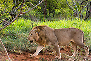 A male lion on the prowl for food in the jungle.