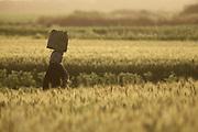 people walk across a wheat field Photographed in Israel
