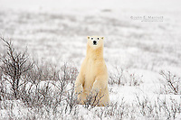 Curious polar bear in the Canadian Subarctic