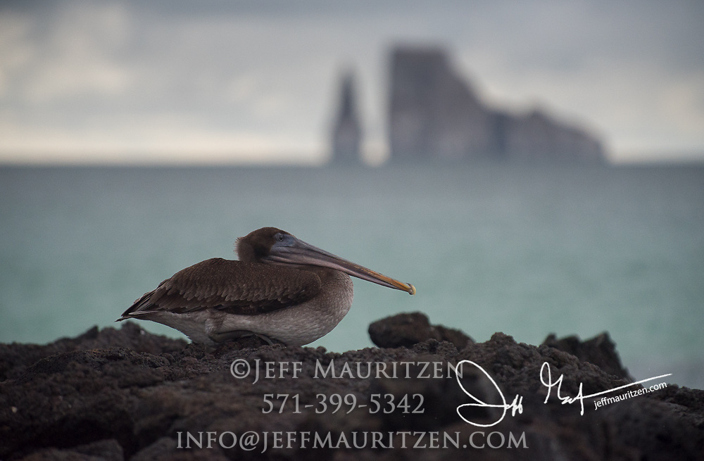 A Brown pelican rests on the volcanic rocks of Cerro Brujo with Kicker rock in the distance.