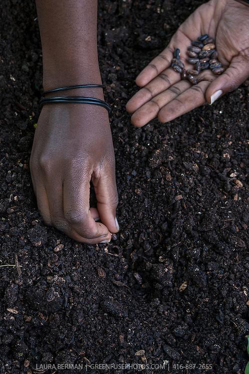 Closeup on the hands of an African-American gardener planting seeds in rich garden soil.