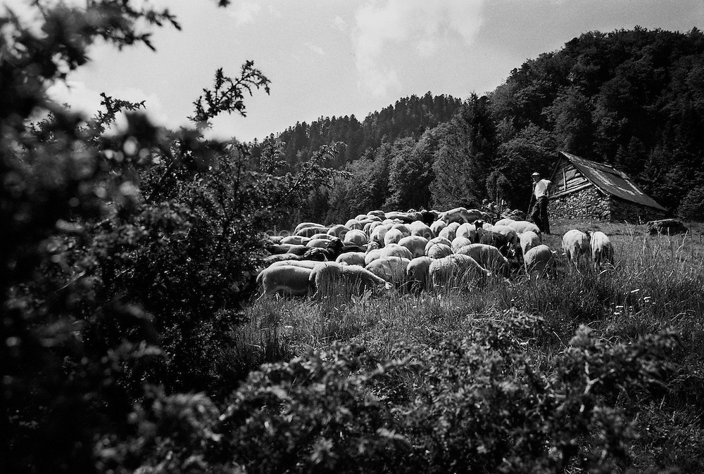 The flock of sheep and the shepperd during the summer transhumances in the valley of Bethmale in the Pyrenees, France.