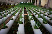 Itabirito_MG, Brasil...Horta hidroponica. Na foto, producao de cebolinha...The hydroponic garden. In this photo, the chives production...Foto: LEO DRUMOND / NITRO