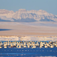 flocks of snow geese rest on freezeout lake, montana, rocky mountain front