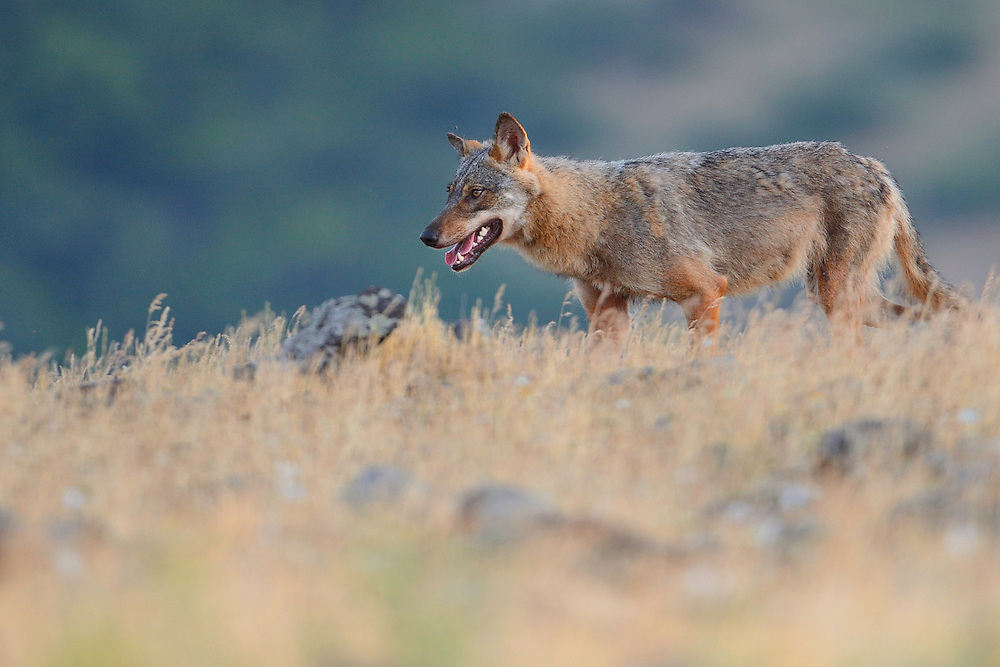 Eurasian grey wolf, Canis lupus, at a vulture watching site in the Madzharovo valley, Eastern Rhodope mountains, Bulgaria