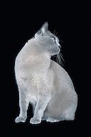 Blue Burmese cat looking on side