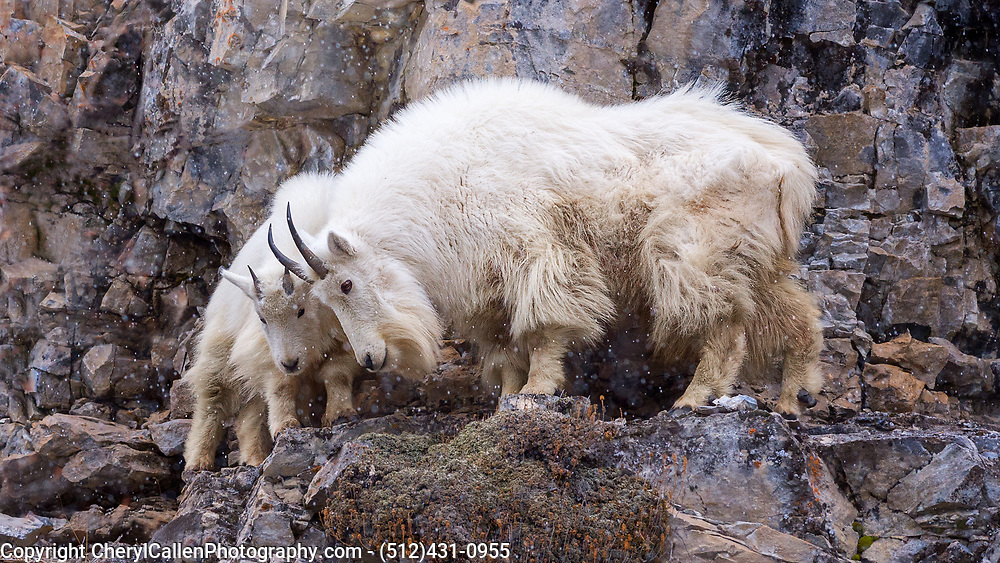 Mountain goat mom and kid