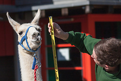 ZSL London, August 21st 2014. Zookeper Jack Sargent measures the height of adult llama Perry as ZSL London holds its annual animal weigh and measure day to update their databases.