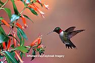 01162-093.12 Ruby-throated Hummingbird (Archilochus colubris) male at Cigar Plant (Cuphea ignea)  Shelby Co. IL