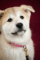 Akita puppy white & tan - owner Julie Burke