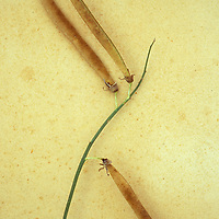 Stem of ripe Sweet pea or Lathyrus with three long brown seedheads lying on antique paper