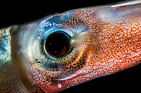 Squid eye.<br /> All these creatures were photographed in open sea, by night over deep sea water without manipulation. The photographed behaviors document the natural attitude of these drifting or pelagic animals.<br /> All these images are available in high resolution for professional use or for a fine art print.<br /> Id. and caption on demand.