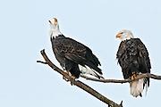 Bald Eagle calls out, Chilkat Bald Eagle Preserve, Haines, Alaska